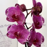 Orchid Phalenopsis Pink